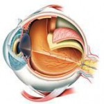 Internal structure of eye
